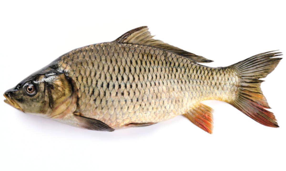 Manfaat Ikan Mas Untuk Kesehatan